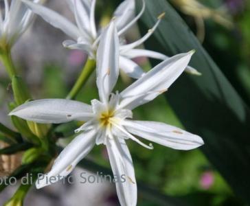 Pancratium illyricum L, Oliena (foto P. Solinas)